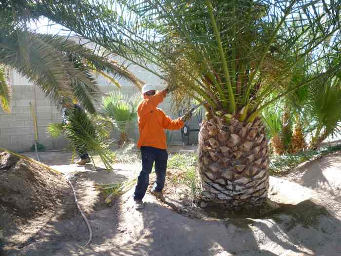 Palm Trees Maintenance To Prune Or Not To Prune Rt Property Services